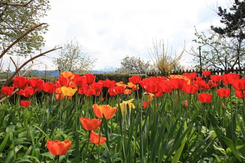 Tulpenpracht auf dem Puntzelhof
