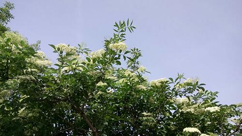 Holunder Baum auf dem Puntzelhof